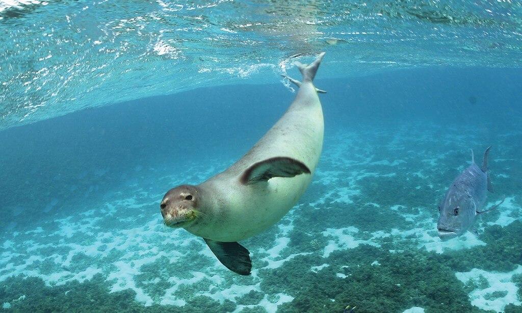 Hawaiian monk seal swimming underwater.