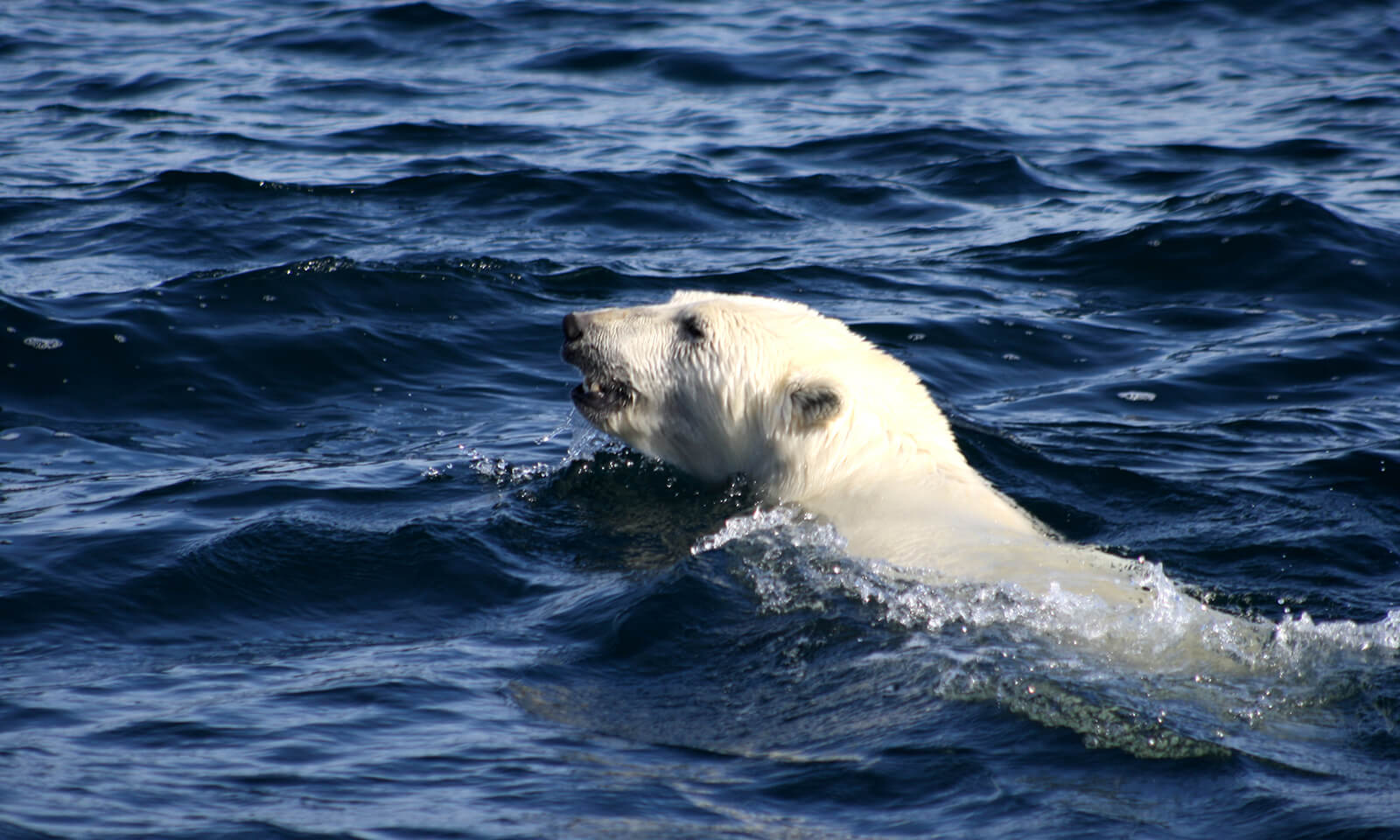 Polar bear swimming in the Beaufort Sea