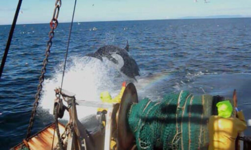 Orca leaping near commercial trawler stern