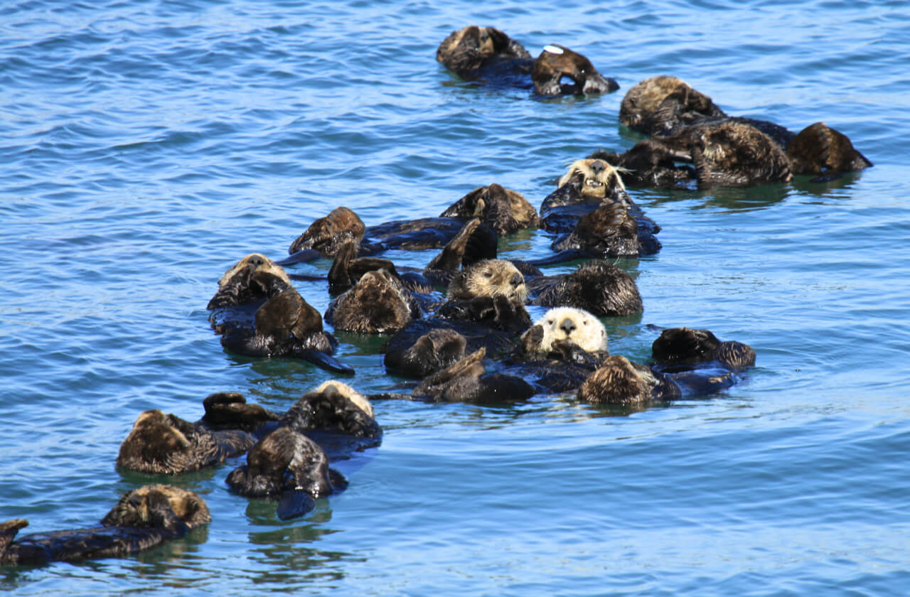 sea otters At the aquarium, our all-male raft of sea otters is actually composed of two species, the northern sea otter and the southern sea otter.
