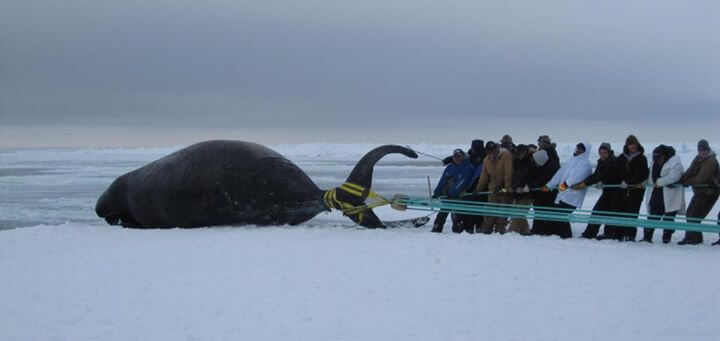 Alaska Natives use a towline to haul a bowhead whale carcass onto ice image