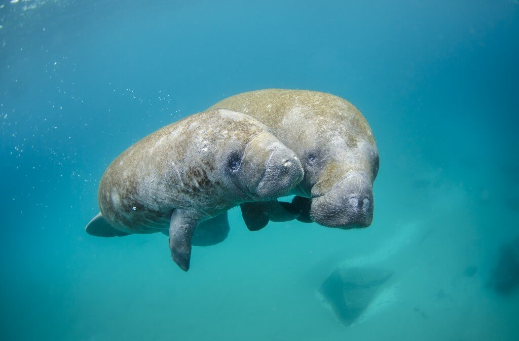 Mother manatee and calf image