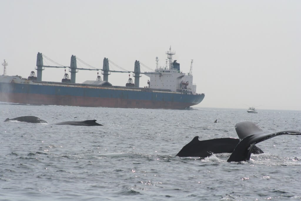 Whales swimming near cargo ship.