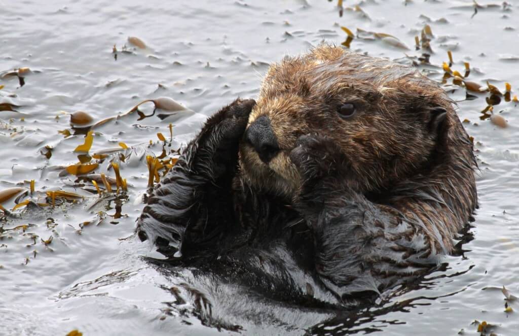 Southern sea otter resting in a small patch of kelp.