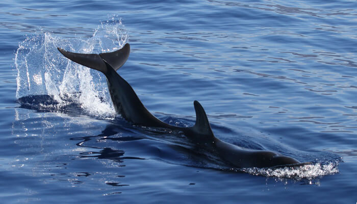 Juvenile false killer whale tail lobbing, October 22, 2010