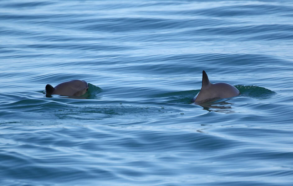 Pair of vaquita swimming.