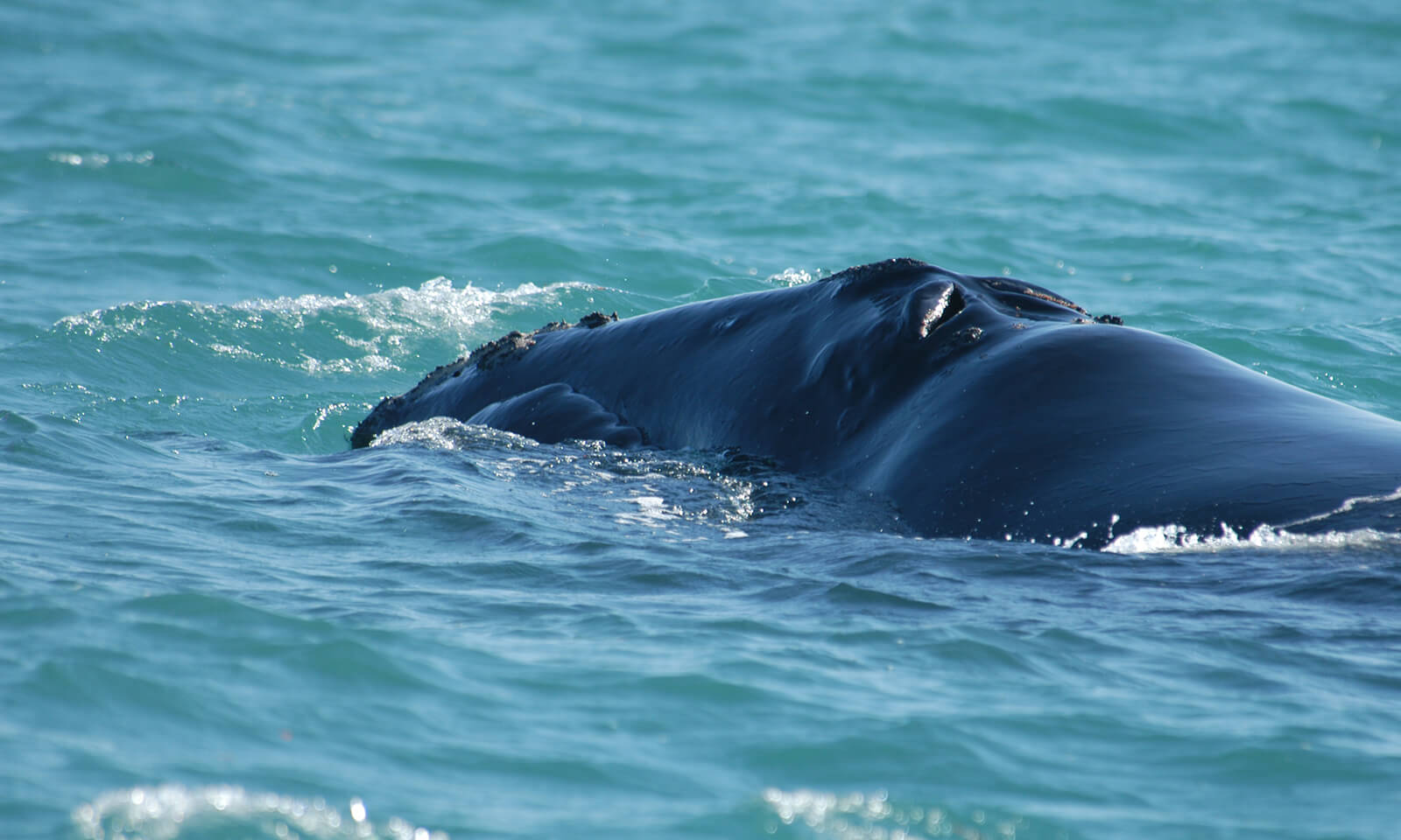 North Atlantic right whale off the Florida Gulf coast