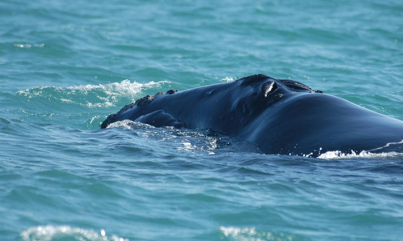 North Atlantic right whale off the Florida Gulf coast