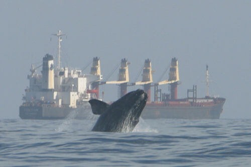 Image of right whale and cargo ship in background.