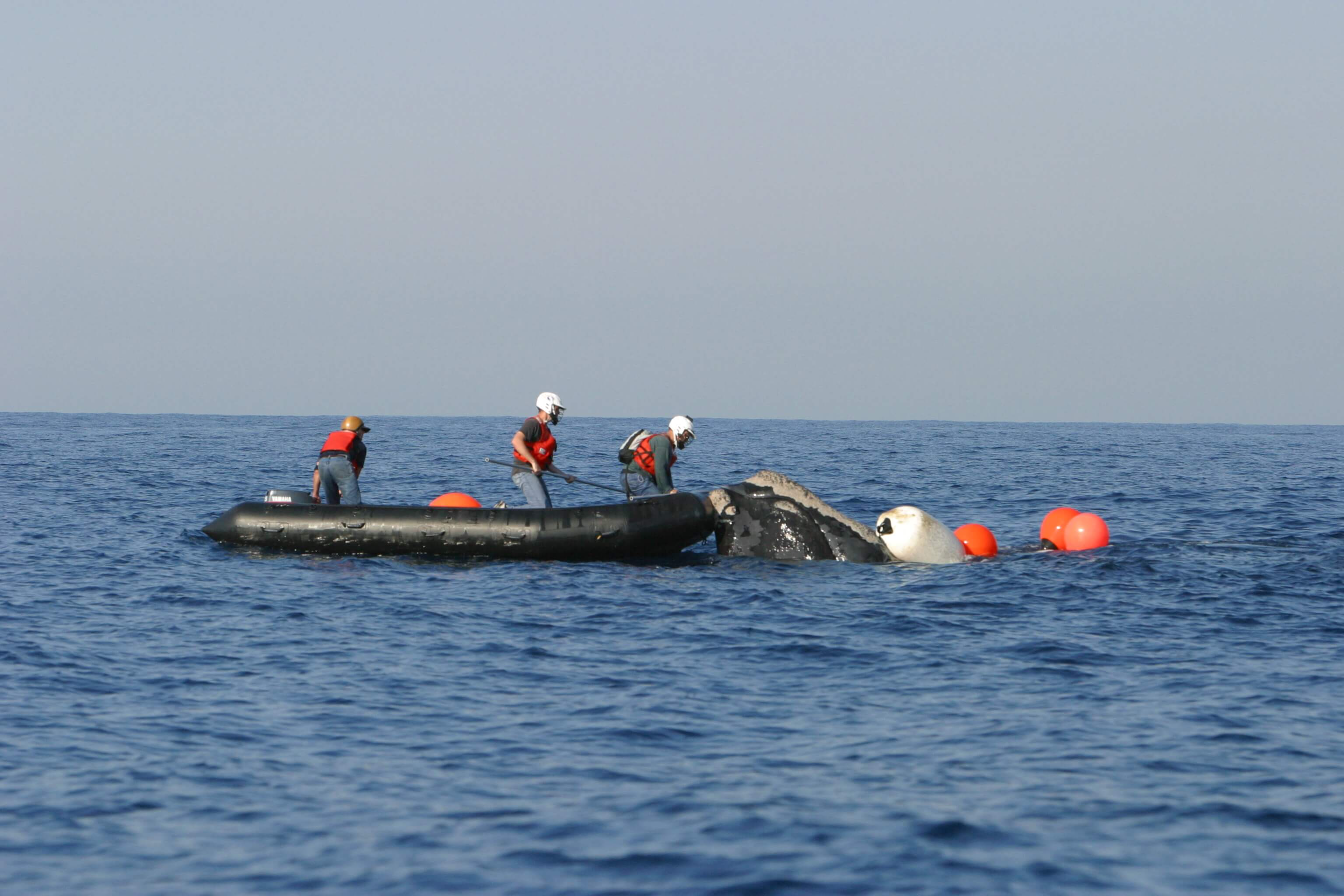 NOAA scientists and partners attempt to disentangle endangered right whale image