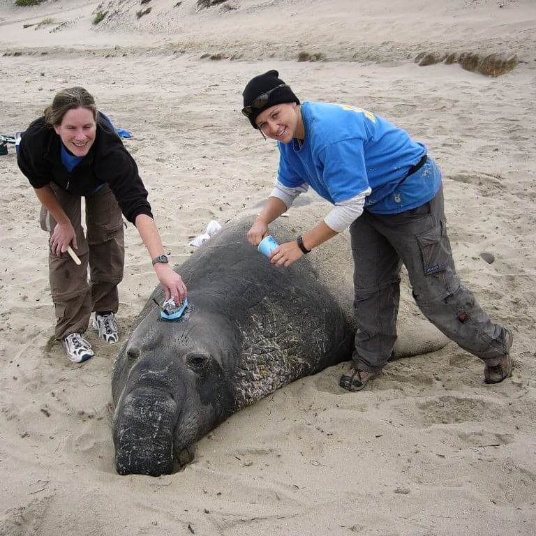 Deploying a satellite tag on an adult male northern elephant seal.