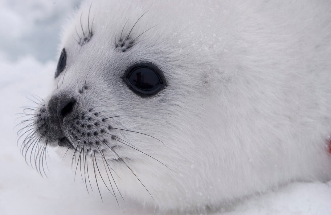 Ribbon seal pup image