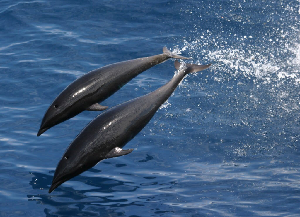 Northern right whale dolphins leaping out of water.