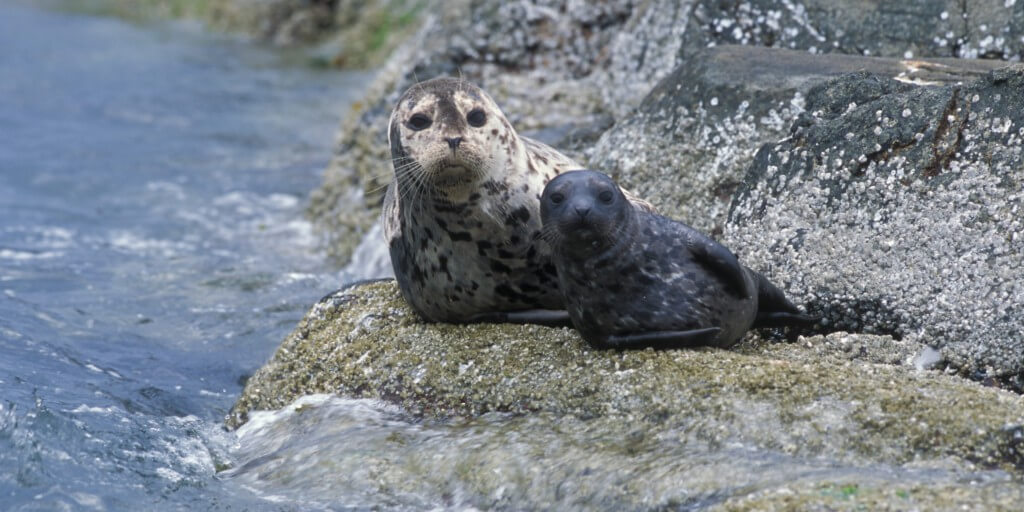 Harbor seal and pup image.