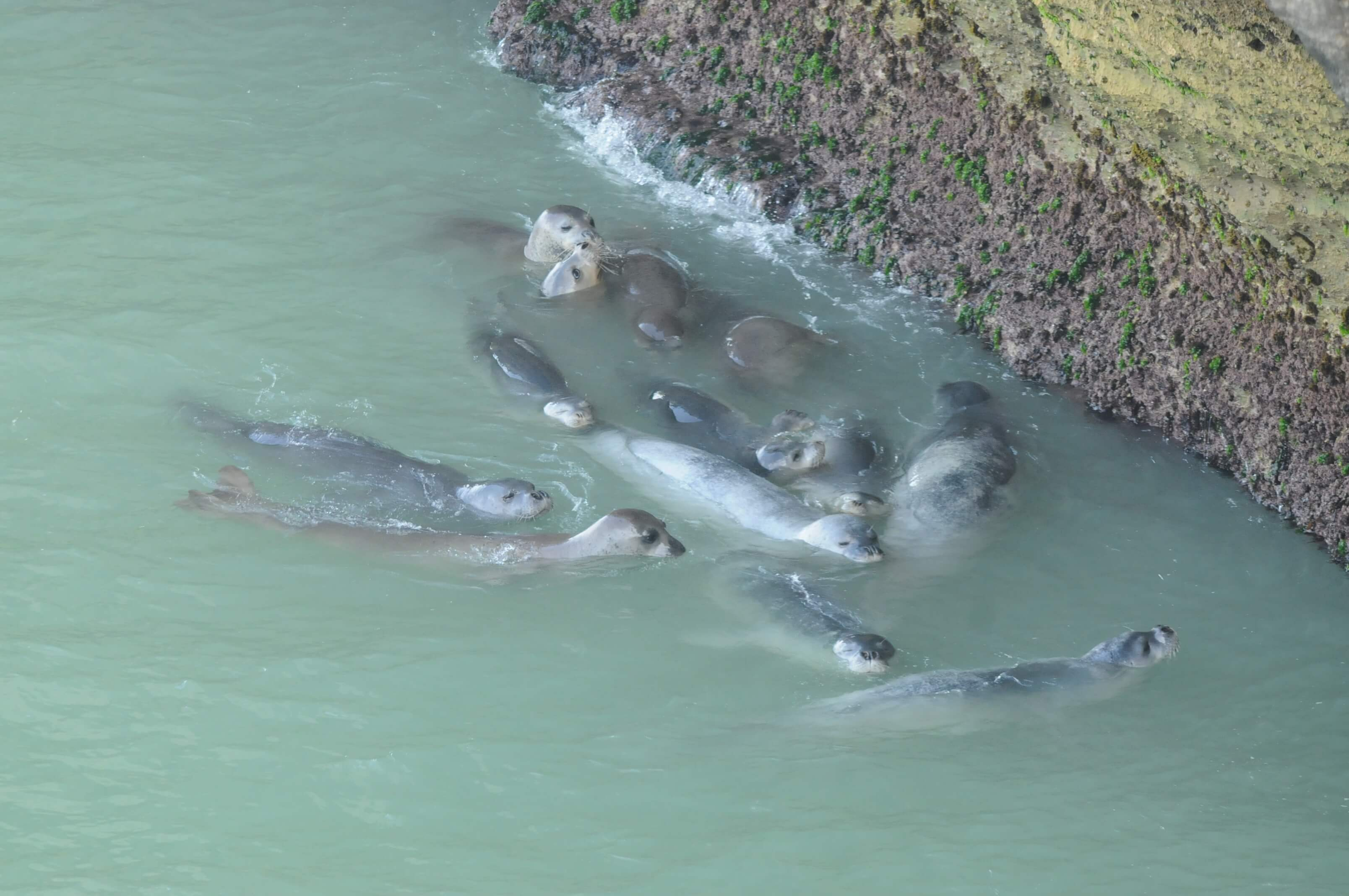 A group of Mediterranean monk seals in the water (Credit: M. Haya, CBD-Habitat).