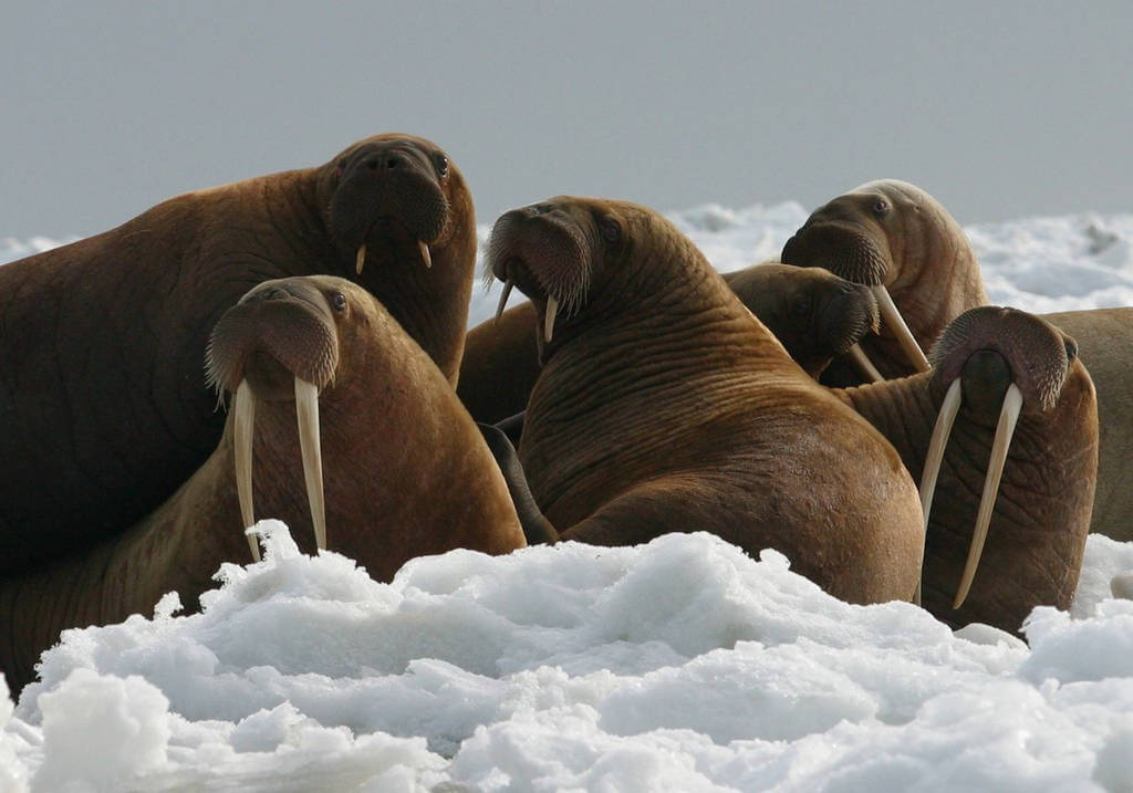 As sea ice thins and retreats farther north, walrus, which rely on sea ice to rest on between foraging bouts, and polar bears, which need sea ice to hunt seals, will either be displaced from essential feeding areas or forced to expend additional energy swimming to land-based haul-outs