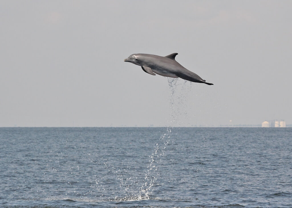 Bottlenose dolphin Gulf of Mexico