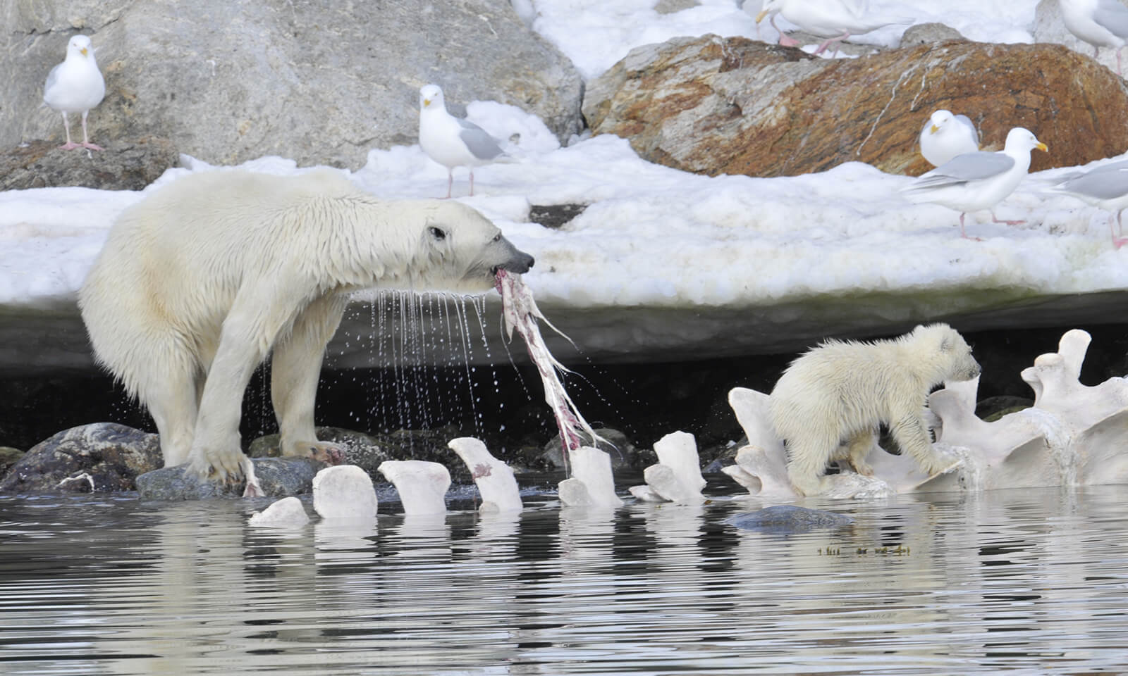 Polar bear and cub feasting on whale carcass