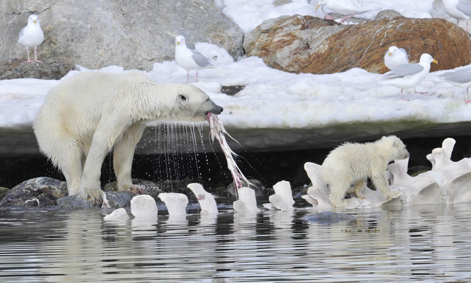 Polar Bear - Marine Mammal Commission