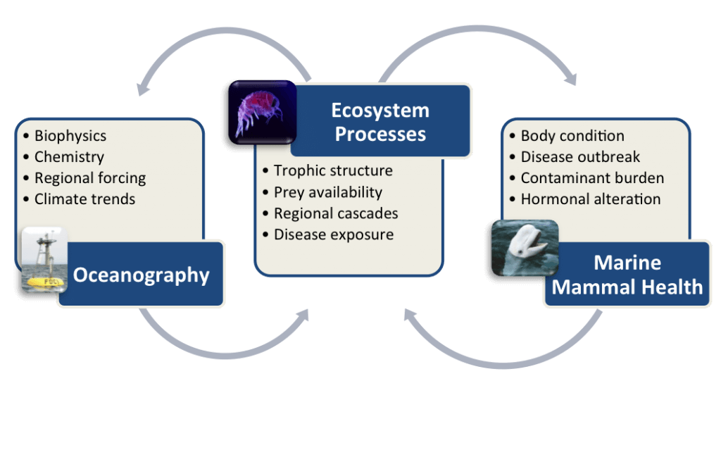 Conceptual diagram of Marine Mammal Health MAP framework showing links and feedbacks among research and observations focused on oceanography, ecosystem processes, and marine mammal health.