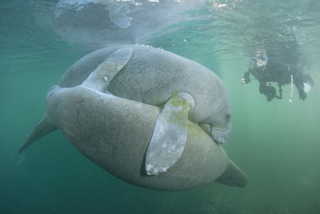 Manatees in Crystal River, Florida (Guillaume Bauch)