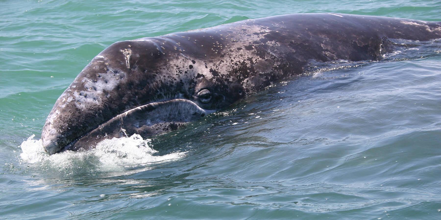 Gray Whale shutterstock_100123850
