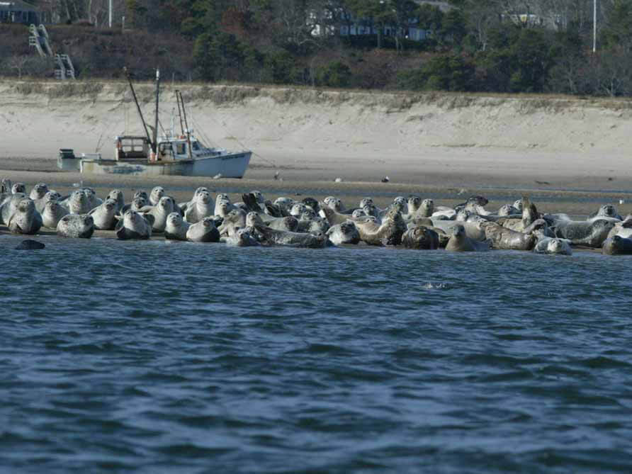 harbor+gray seals noaa fisheries