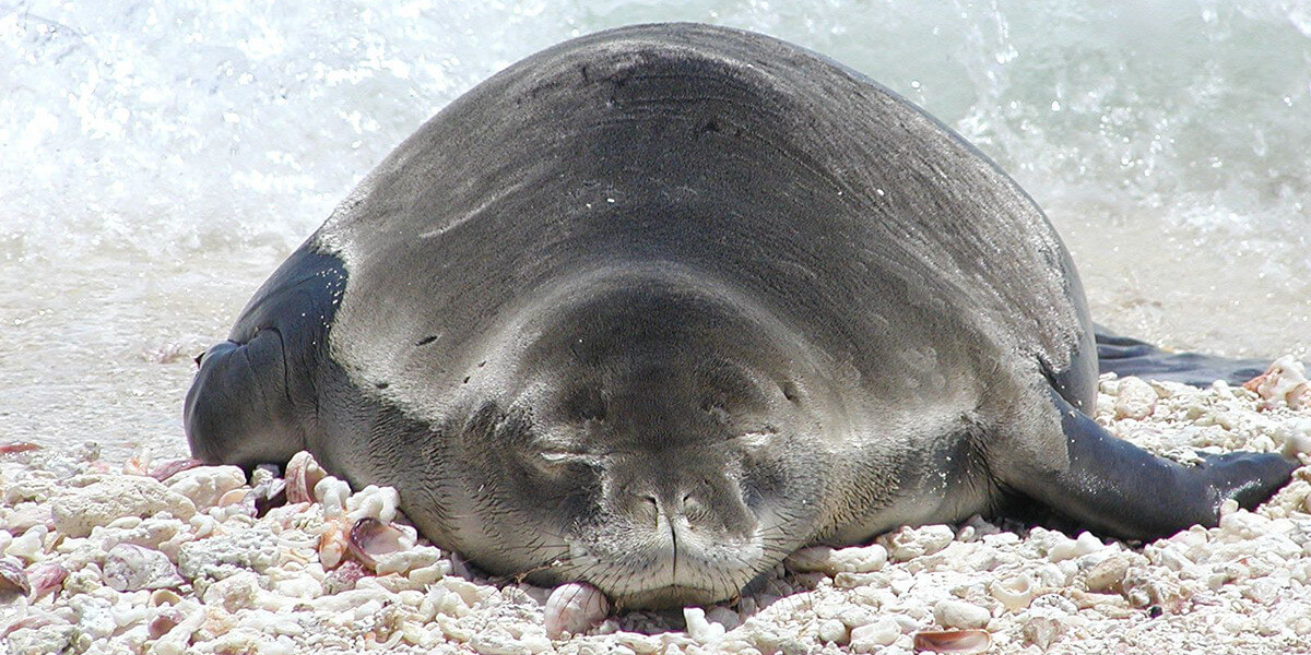 Hawaiian monk seal on rocky beach.