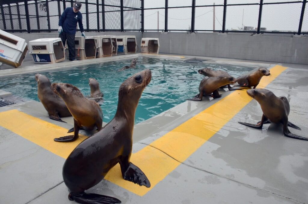 Image of California sea lions in pool.