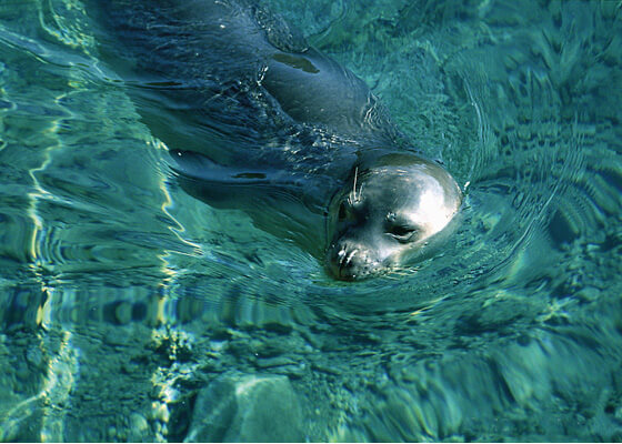 Mediterranean monk seal swimming through water.