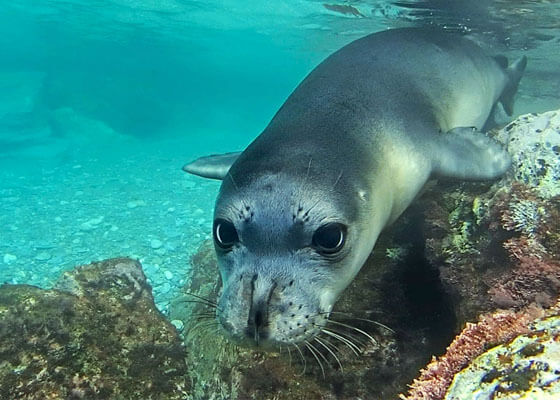 Mediterranean monk seal swimming underwater.