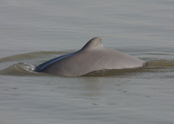 Irrawaddy dolphin swimming in water.
