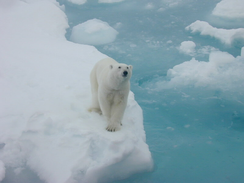 Image of polar bear on ice float.