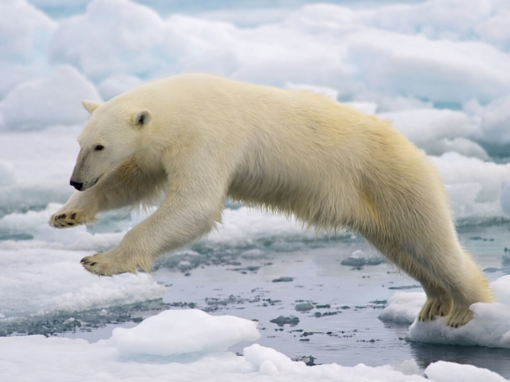 Image of polar bear jumping between floating ice.