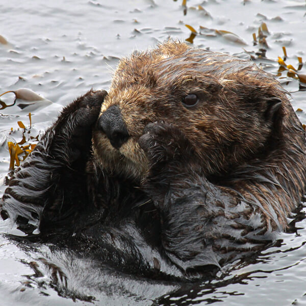 A southern sea otter settles down to rest in a small patch of Egregia feather boa kelp