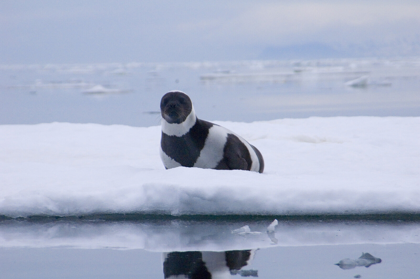 Ribbon seal hauled out on the ice image