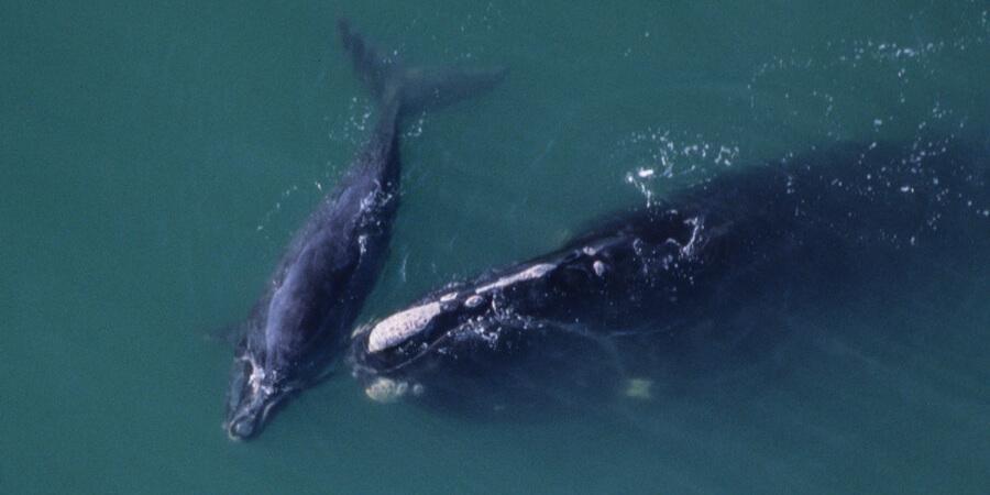 Right whale off Florida coast