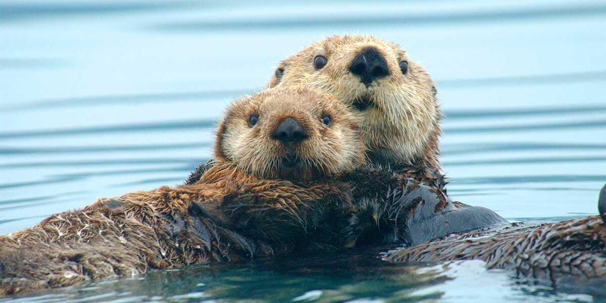 northern sea otter marine mammal commission