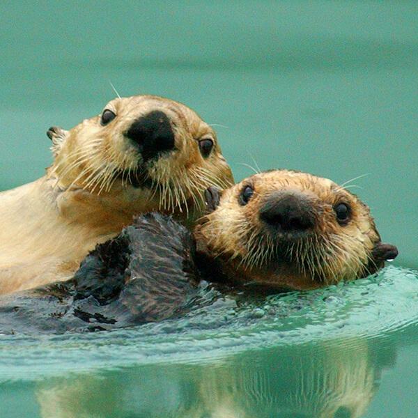 Sea otters, Alaska