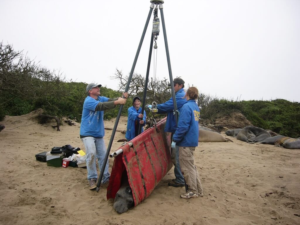 UCSC researchers weighing an adult female northern elephant seal.