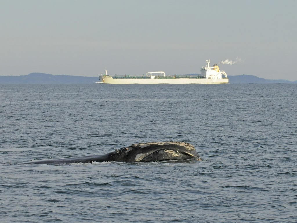 A right whale swims close to a shipping vessel