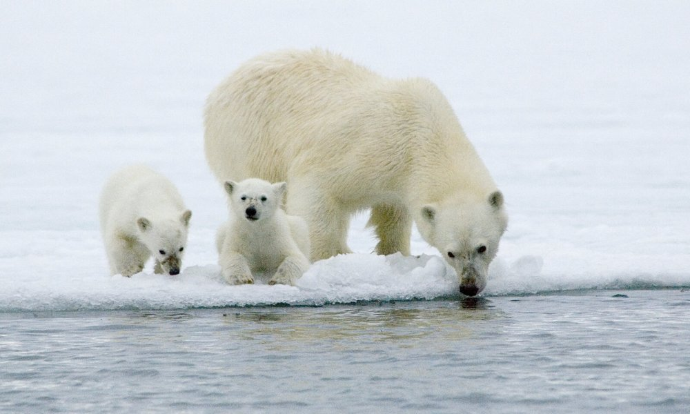 Female polar bear with cubs