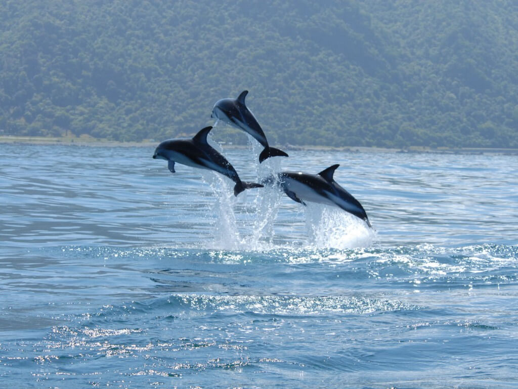 Dusky dolphins leaping out of water.