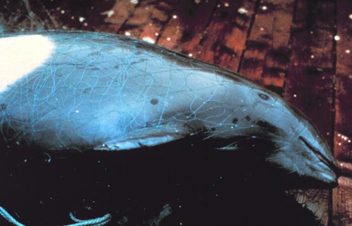 Entangled Dall's Porpoise image