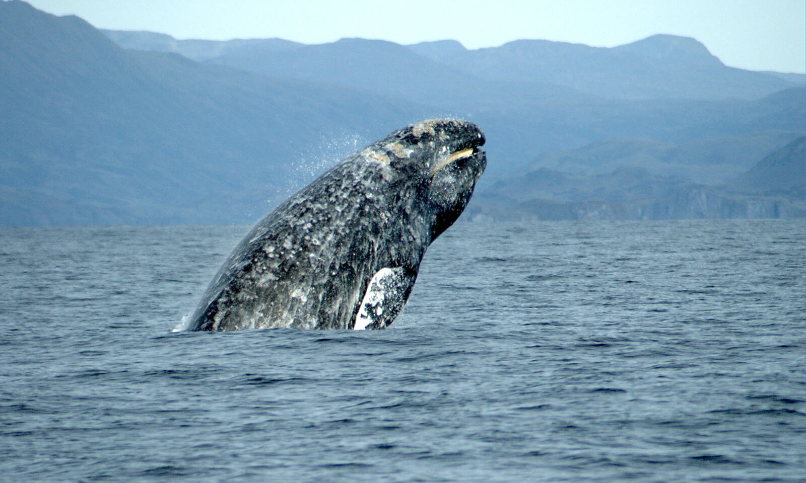 Gray whale breeching.