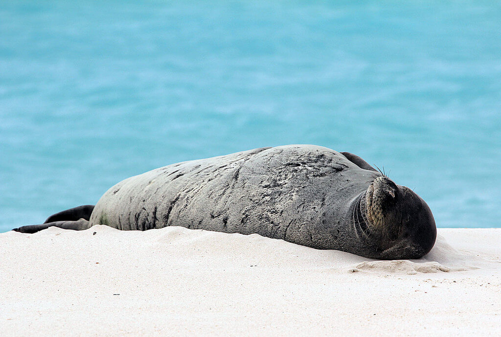 Hawaiian monk seal on beach.