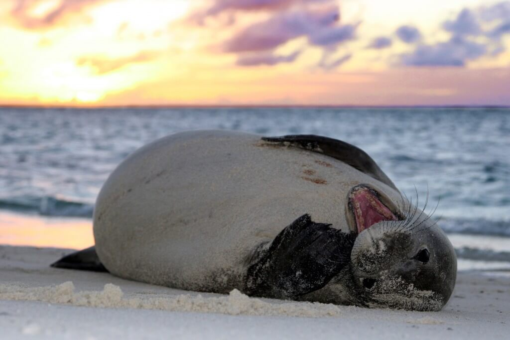 Image of young monk seal laying on beach.