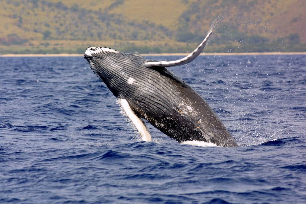 Image of humpback whale.