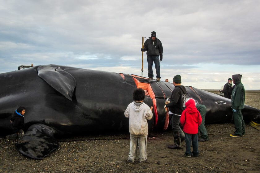 Kaktovik residents begin butchering a 44' Bowhead whale on September 5, 2012 image