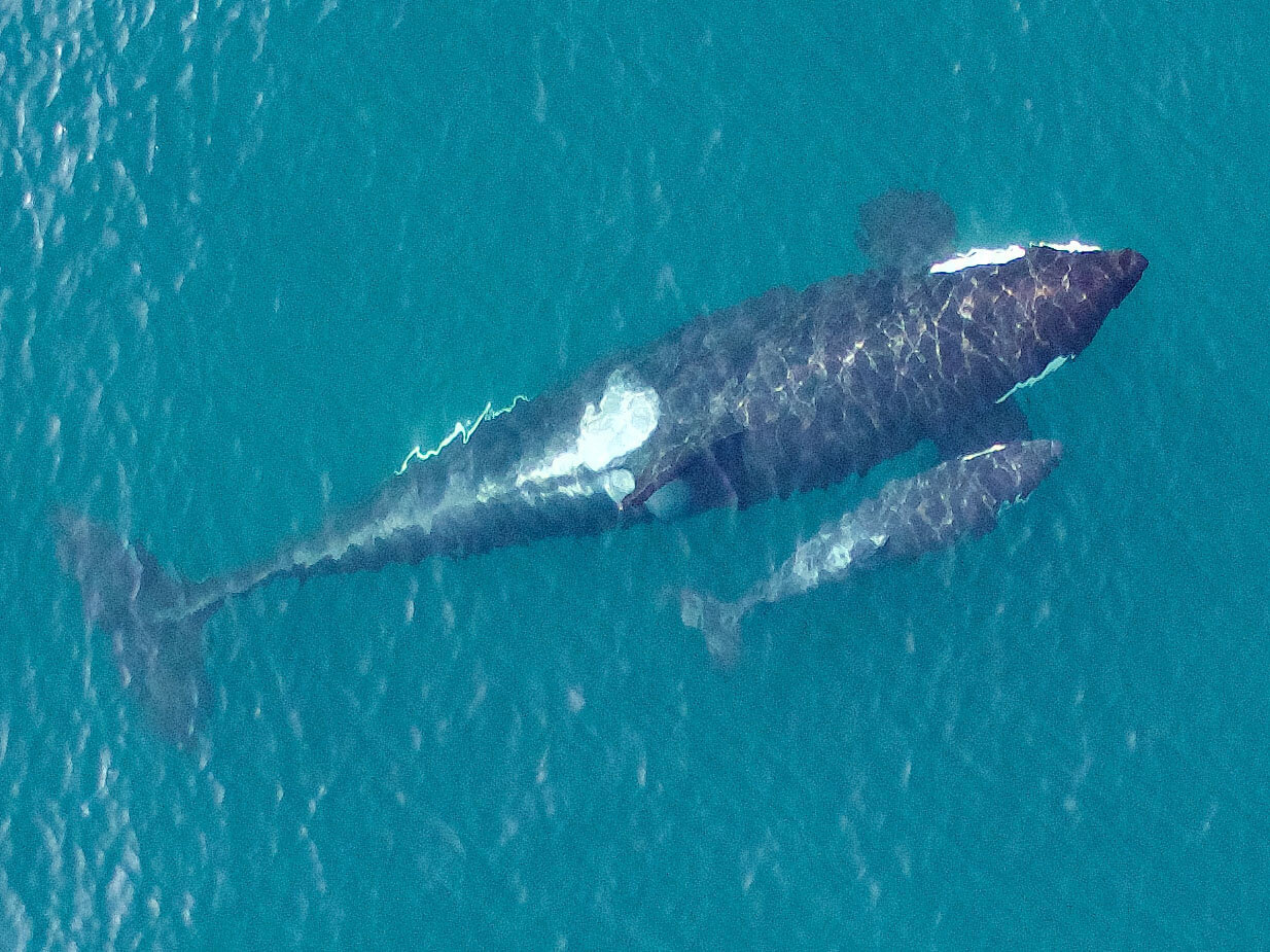Overhead image of Southern Resident killer whales. This image shows the close bond between mother and calf that will last a lifetime. Photo taken by UAV from above 90 feet under NMFS research permit and FAA flight authorization